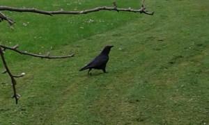 cuervo3 300x180 Mi amigo el cuervo