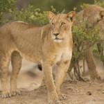 dos leonas leo panthera 401205561 150x150 Leones en León