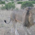 leon4 150x150 Leones en León